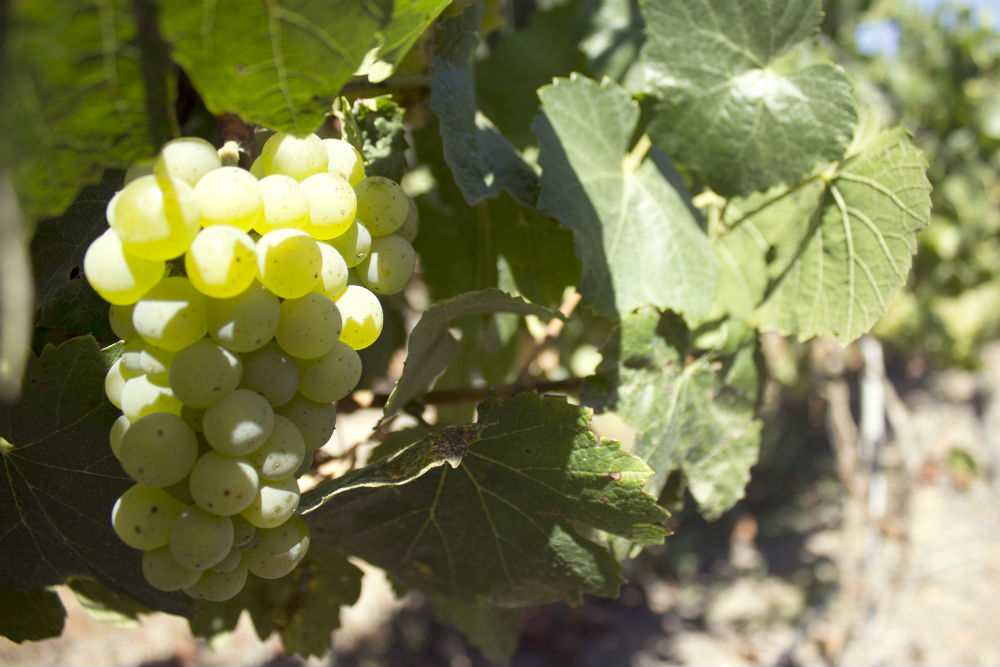 Chardonnay Limari