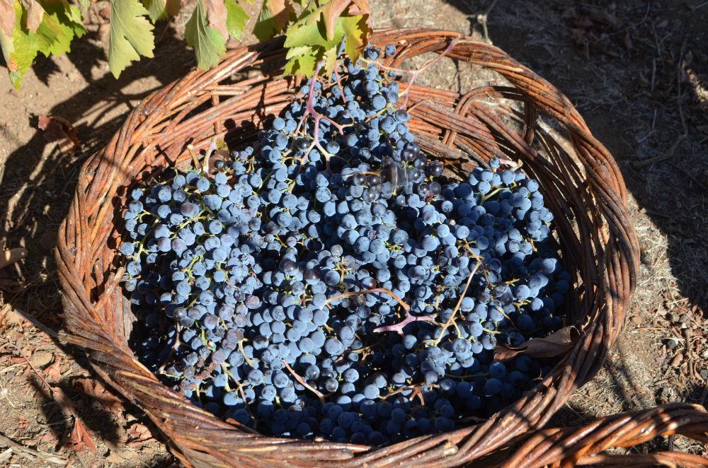 uvas-chilenas-adega