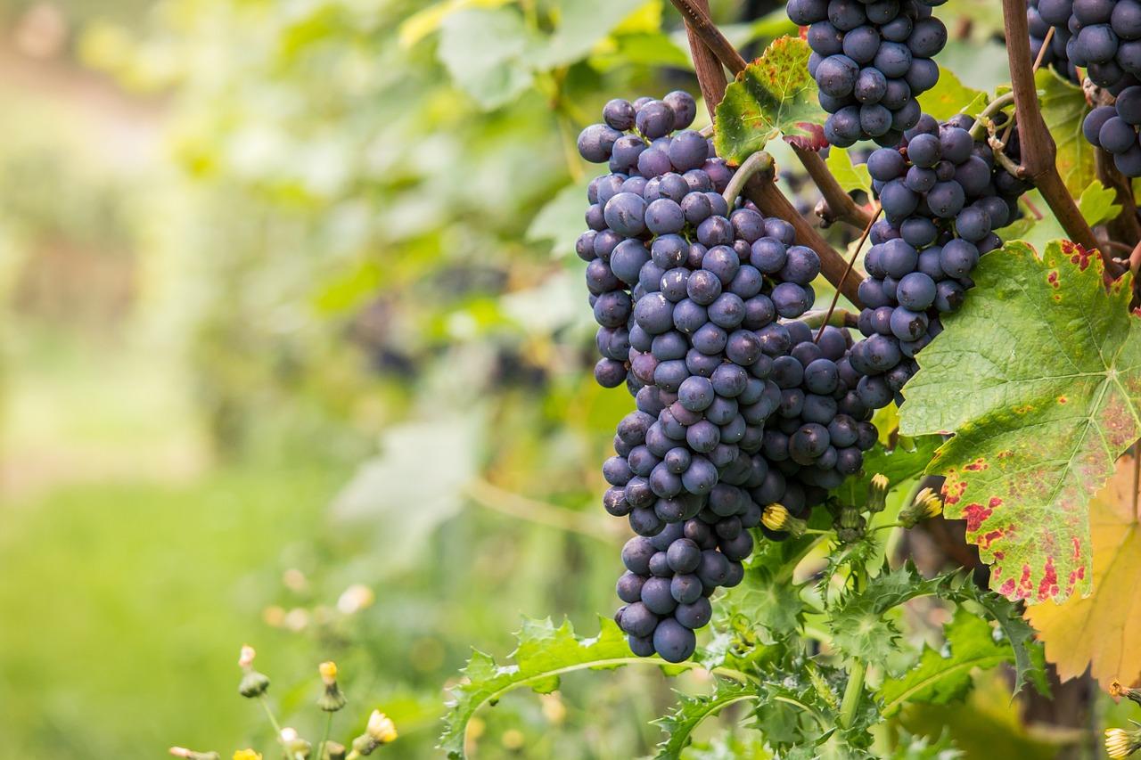 A arte da vinificação, parte 1