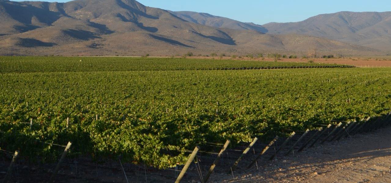 Chardonnay, la variedad más preciada del Valle del Limarí