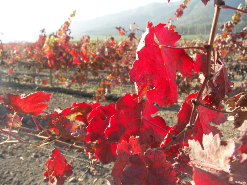 5 defining facts about Carmenere